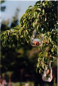 Päronflaska på gren